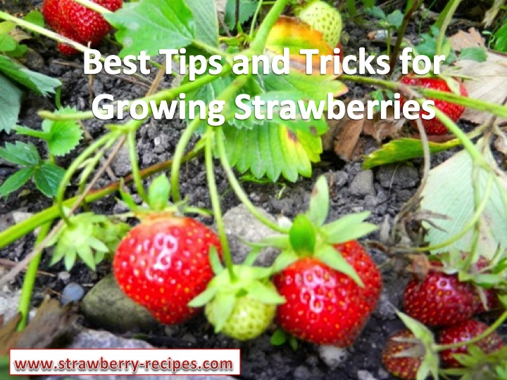 Best Tips and Tricks for Growing strawberries iin your own garden.
